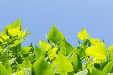 leaves of winged bean