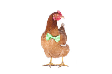 hen and rooster choose a tie for the holiday