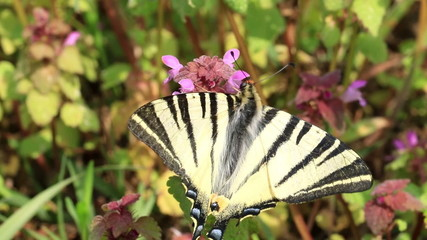 Beautiful swallowtail ,Papilio machaon ,butterfly sucking nectar