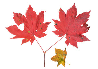 Red leaves of maple 13