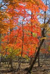 Autumn maples 7