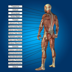 3D human male anatomy with muscles and text