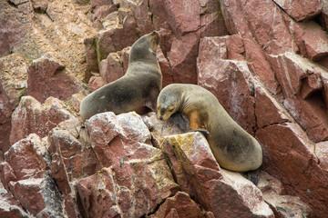 Sea lions at Ballestas Islands, Paracas, Peru