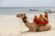 Camel lying on the sand - 74418099