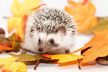 African white- bellied hedgehog