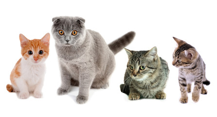 Collage of four cats isolated on white