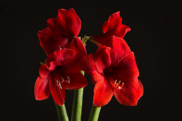 Red amaryllis flower on black background. Hippeastrum hortorum.