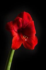 Red amaryllis flower on black background. Hippeastrum hortorum.