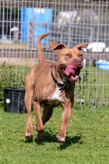 Mastiff type dog running