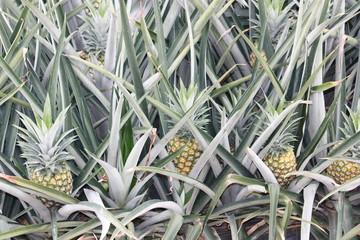 Ananasstauden - Ananasplantage - Costa Rica