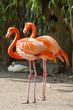 canvas print picture - Zwei Flamingos