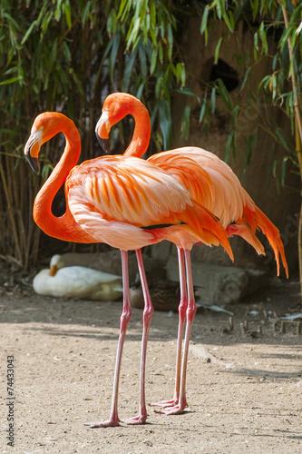 canvas print picture Zwei Flamingos