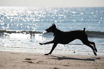 海で遊ぶドーベルマンのシルエット