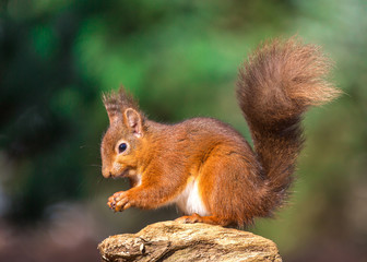Red squirrel sitting on tree