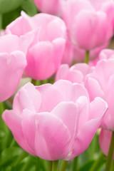 Pink tulip flowers full bloom