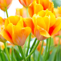 Yellow and red tulips, square