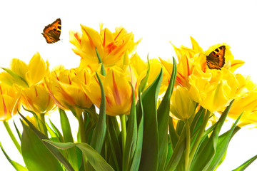 Yellow tulips two butterflies