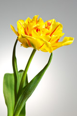Single yellow tulip flower