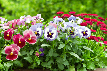 Pansy and daisy flowers