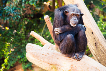 Cute chimpanzee sitting at a tree branch.