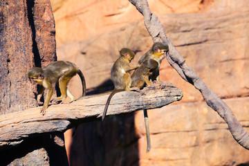 Talapoin monkeys in a tree.