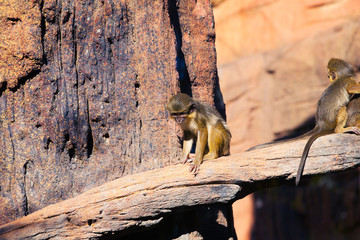 Talapoin monkey in a tree.