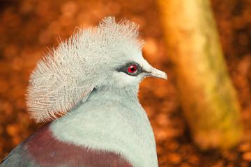 Exotic bird portrait (Goura victoria)