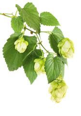 Hop plant branch