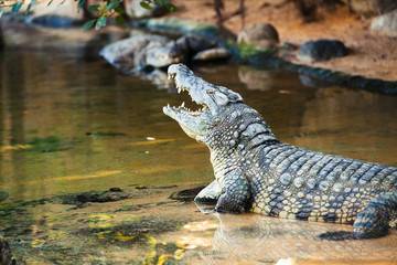 Open mouth crocodile in the water.