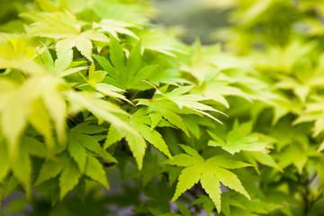Green leaves of the Japanese maple (Acer palmatum)