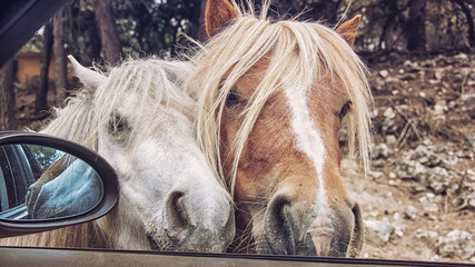 Two ponies trying to get inside the car during the safari ride