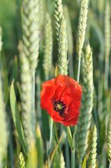 coquelicot dans champs de blé