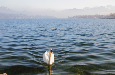Lake and swan. Lucerne, Switzerland