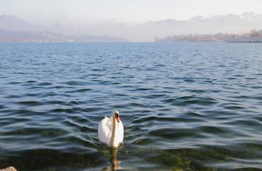 Lake and swan. Lucerne, Switzerland