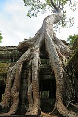 Kapokbaum im Tempel Ta Prohm