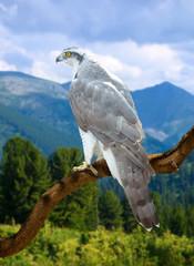 Goshawk on on wood trunk