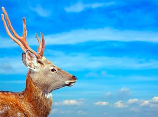 Sika deer against sky