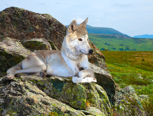 White wolf lays on stone in wildness