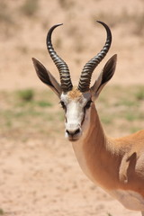 springbok mammiffero selvaggio savana del sudafrica