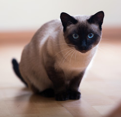 Sitting  Siamese cat