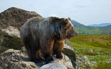 bear on stone in wildness