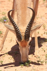 springbok kgalagadi kalahari sudafrica savana sudafrica