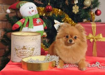 pomeranian dog at the Christmas tree