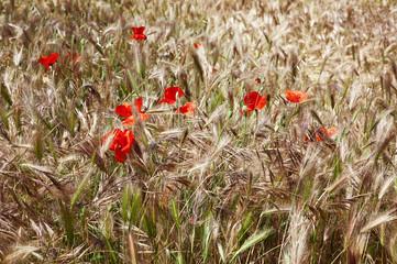 Amapolas en un campo de trigo