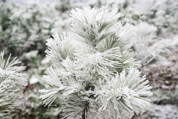 Pine needles covered with snow
