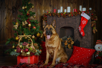 German shepherd dog for Christmas