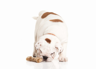 English bulldog puppy on white background