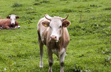 Kühe auf die Wiese, Bayerischer Wald, Deutschland
