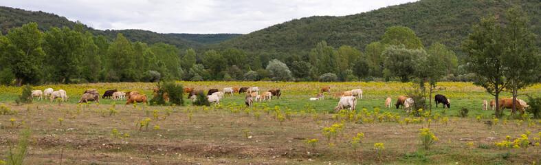 Panorama de Paisaje con Vacas