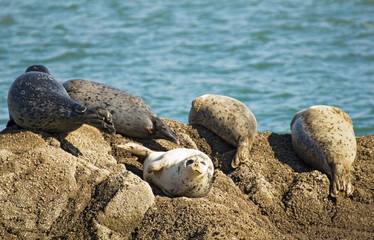 Five harbor seals enjoy the sun